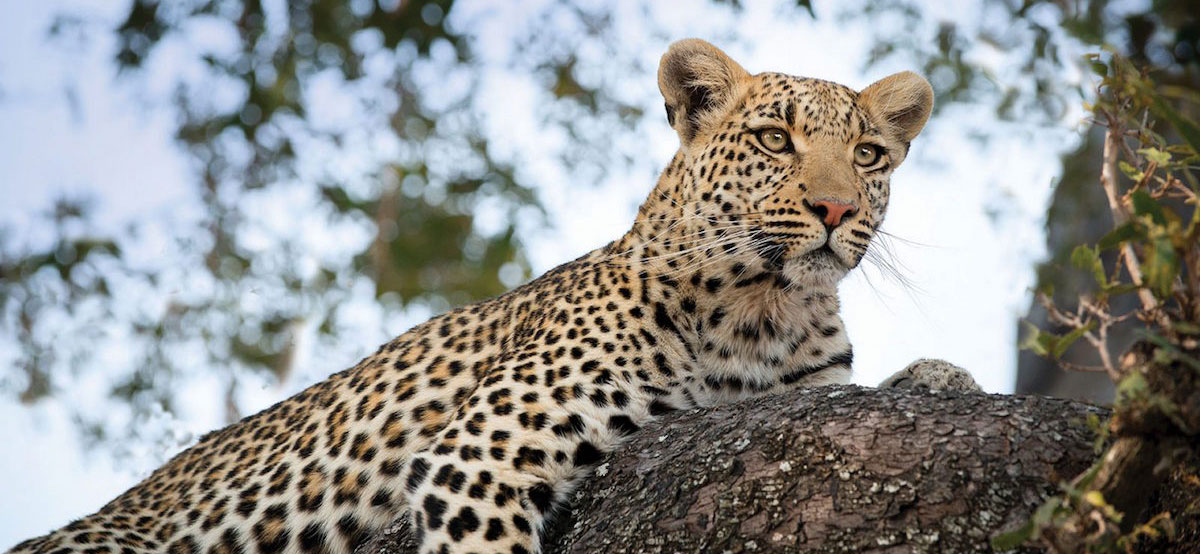 Moremi Gamme Reserve is home to amazing wildlife