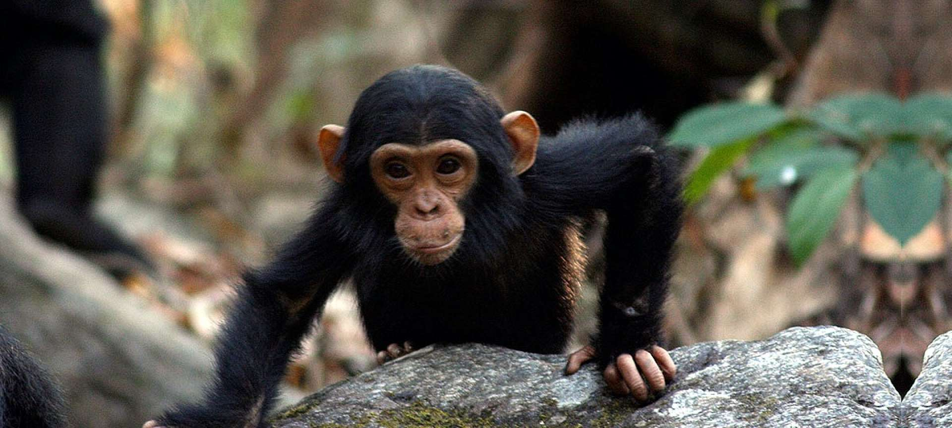 The habituated chimpanzees in the Mahale Mountains are a special sight to behold | Tanzania Wildlife