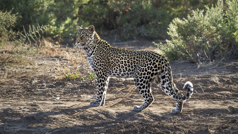 Leopard abound in Botswana, although still the most elusive of the Big Cats, credit: BBC One | Zambia VS Botswana